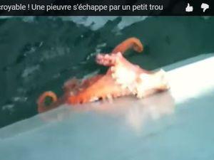 VIDEO - évasion en direct d'une pieuvre par un minuscule dalot