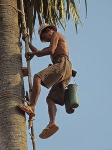 L'écho des palmiers : Le palmier à sucre (borassus flabellifer)