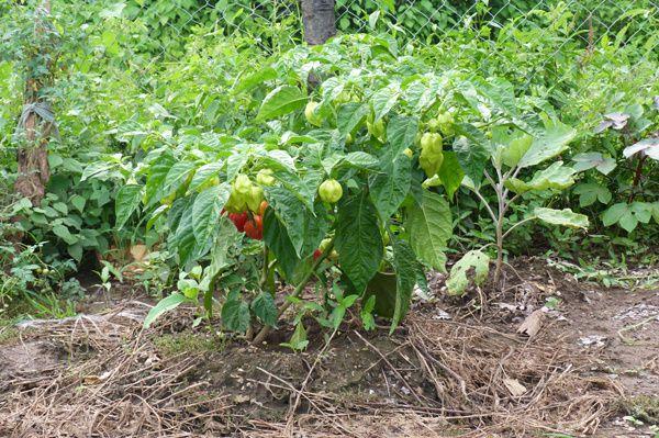 Diaporama (Cliquez sur l'image). Les piments constituent une part importante de la production d'Abdoulaye et Lamine, le kg se vend au marché entre 2000 et 3000Fcfa à cette saison.