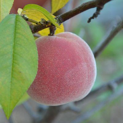 Les fruits se récoltent à la pelle cette année !