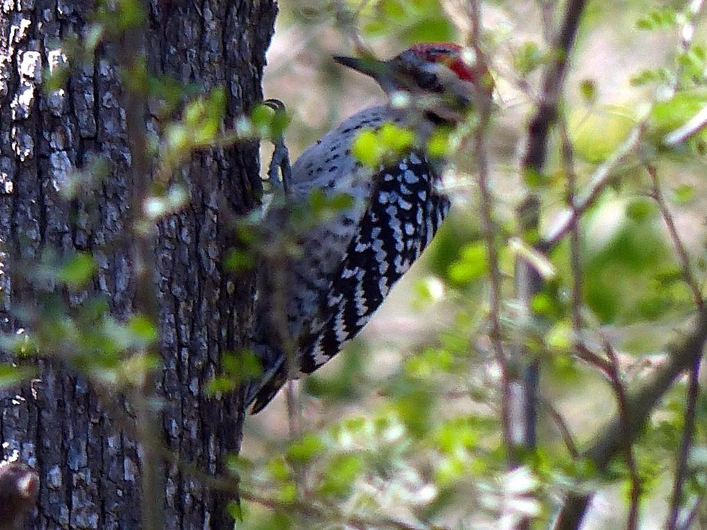 Pic arlequin - Dryobates scalaris - Ladder-backed Woodpecker