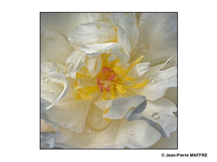 Les roses ne sont pas toutes de couleurs vives, elles peuvent offrir un camaïeu de gris.