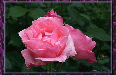 Roses ...