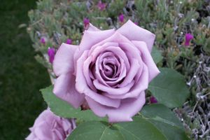 La rose et la lavande au service de la beauté