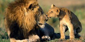 Les Lions sont assassinés mais Neptune en Poisson va mobiliser les gens pour les sauvers de la barbarie
