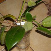Réception de boutures de hoya - Le blog de JANI