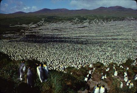 Pourquoi près de 90 % de la plus grande colonie de manchots royaux au monde a disparu ? - notre-planete.info
