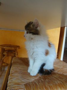 Chaton femelle à poils mi longs à l'adoption -> adoptée