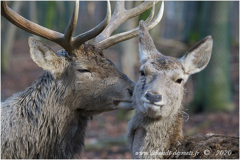 Scène de tendresse rare entre cerf et biche de Bactriane.