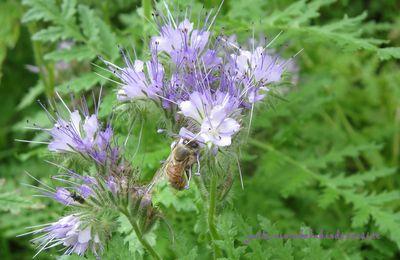 La phacélie, un engrais vert mellifère