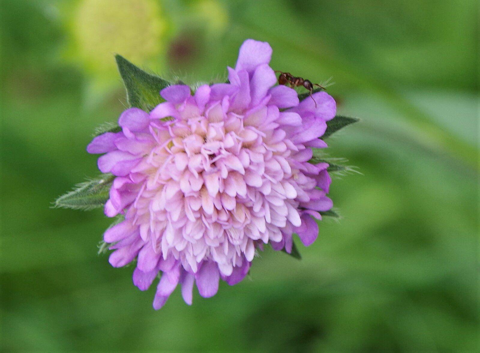 Knautia arvernensis, knautie d'Auvergne