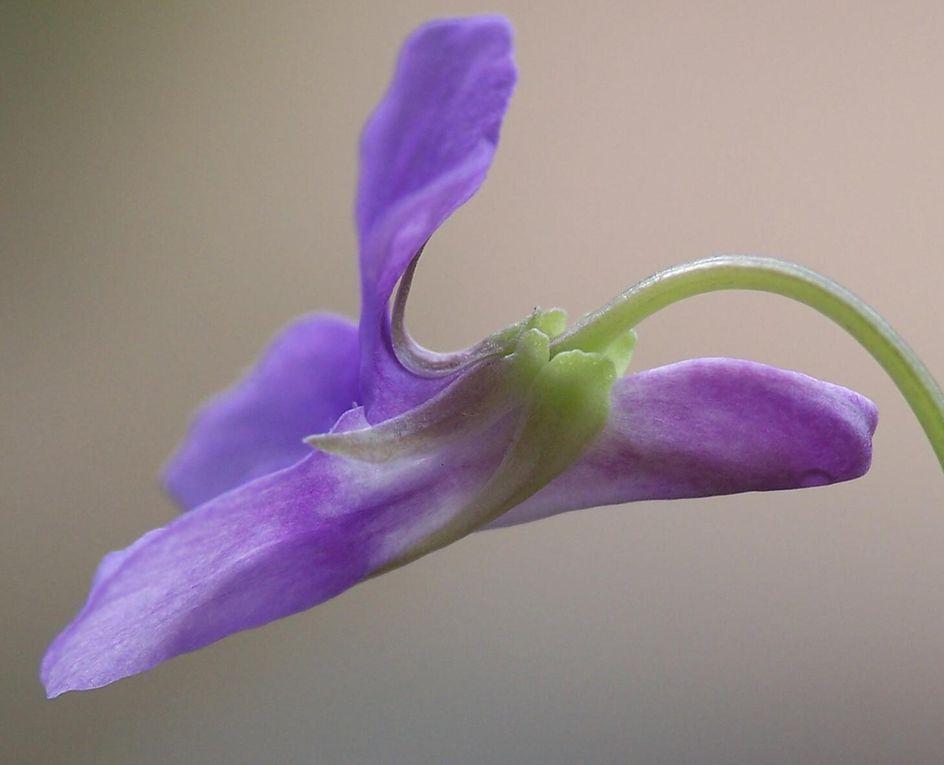 Album - violettes