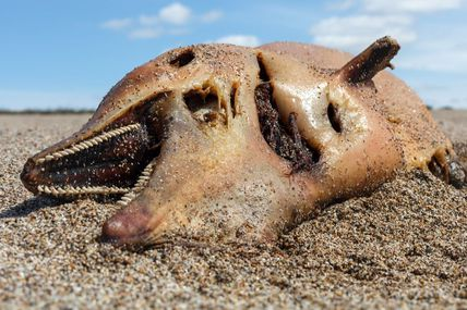 Des niveaux inquiétants de toxines découverts chez les baleines et les dauphins échoués