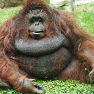 L'arbre généalogique des orangs-outans s'éclaircit