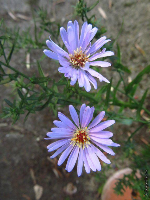 Aster en fleurs