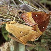 Bombyx du chêne - Wikipédia