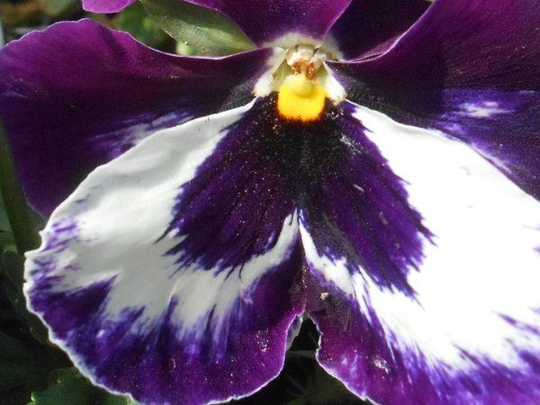et peut-être richard au coeur de cette fleur en pensée