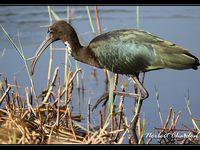 un ibis falcinelle tres cooperatif