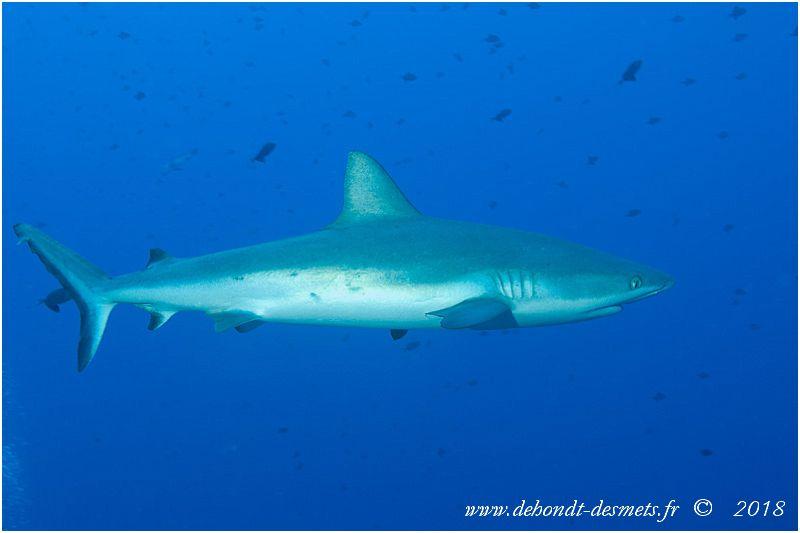 Requin gris ou requin de récif (Carcharhinus amblyrhynchos)