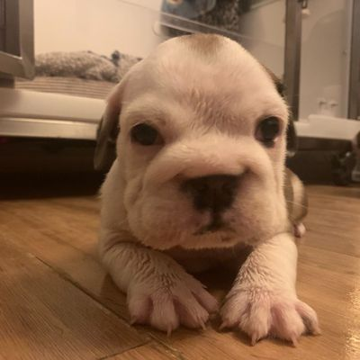 cute English Bulldog male and female puppies