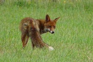 Quand un article de presse stigmatise, à tort, le renard roux.