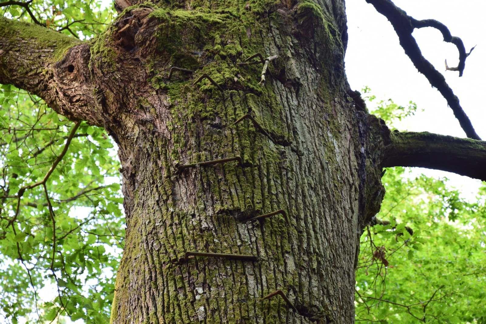 Des fers plantés il y a plus de 100 ans lui font comme une cicatrice dans son écorce