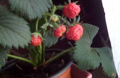 mes plantations , fraises et cressonnette maison