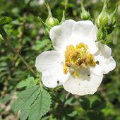 Rosa minutifolia Engelm. in Parry f. albiflora W.H.Lewis