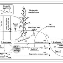 Alerte à la bêtise : le glyphosate fait augmenter le taux de phosphore dans les sols et les milieux aquatiques