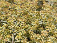 Euphorbia amyg. 'Ascot Rainbow'  -   Euphorbia rigida  -  Filipendula