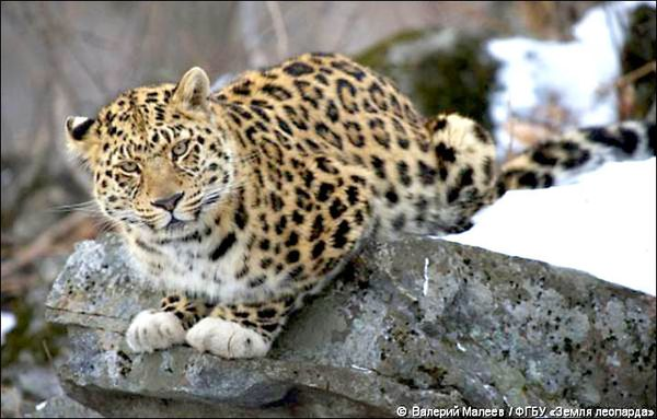 Lucky photographer Valery Maleyev pictures Amur leopard with unusual white 'gloves'. Picture: Valery Maleyev