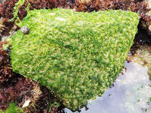 Anciennement appelées Entéromorphes : les Ulves tubuleuses (ici trois espèces différentes) qui se distinguent des Ulves en lame (Laitue de mer)