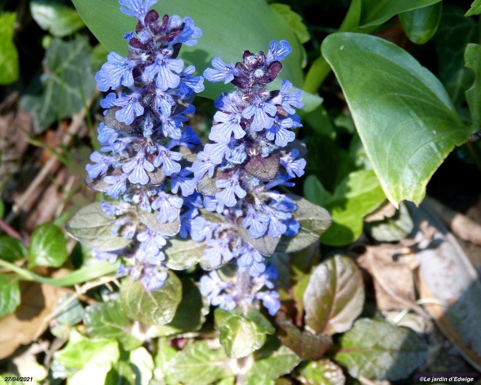 Floraison en épis bleu violacé