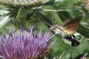 Sphinx colibri ou Moro sphinx ou Sphinx du caille-lait