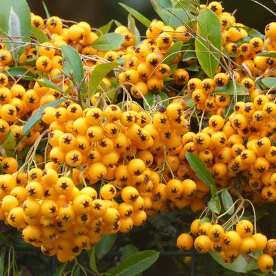 Buisson ardent - pyracantha