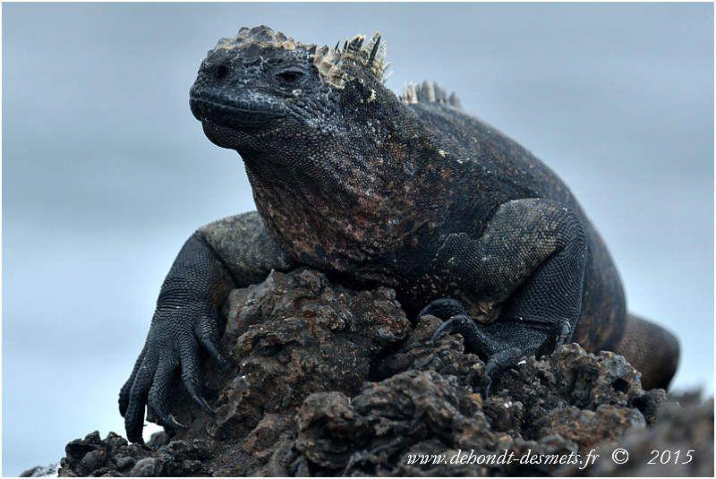 L'iguane marin des  Galápagos  (Amblyrhynchus cristatus) rappelle les grands reptiles de la préhistoire.