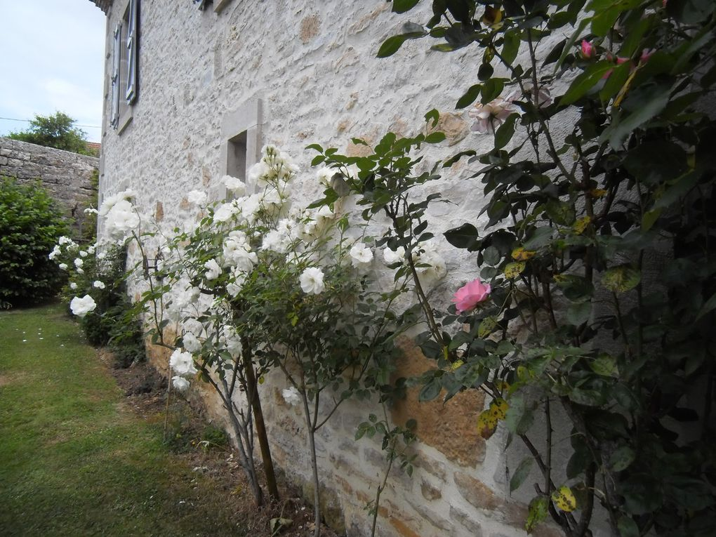 Plantation de 'Shazzam' le long du mur. (3 photos)