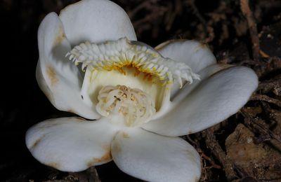 Lecythis persistens subsp. persistens (mahot, mahot blanc, mahot rouge, mahot fer)