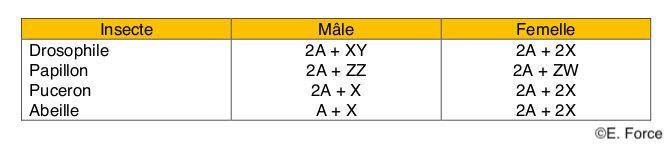 Figure 5. Déterminisme chromosomique du sexe chez différents Insectes (illustration : E. Force). A : autosome ; X, XY, ZZ ou ZW : chromosomes sexuels.