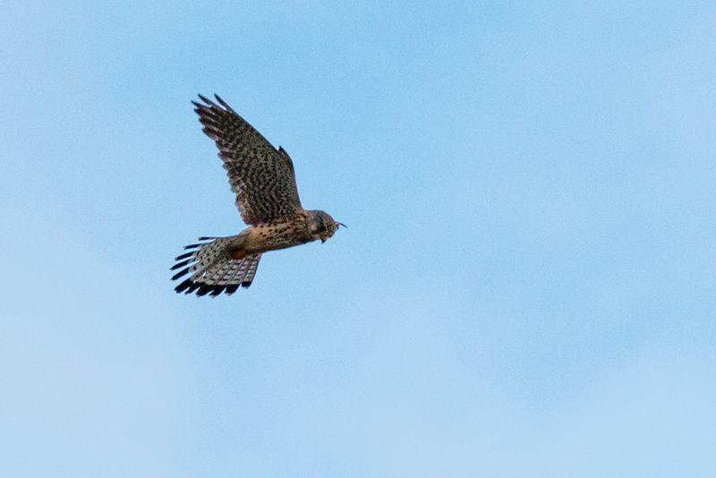 Faucon crécerelle - Common Kestrel - Falco tinnunculus - En chasse au dessus des dunes.