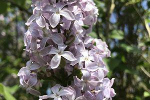 Parfum enivrant du lilas surtout qd il est en...