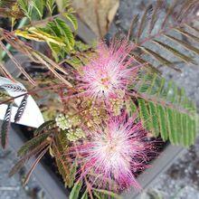 Jolies fleurs en plumeaux de l'albizia ...