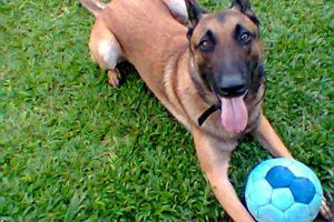 GIPSY - berger malinois - PERDU au bourg de PORT LOUIS