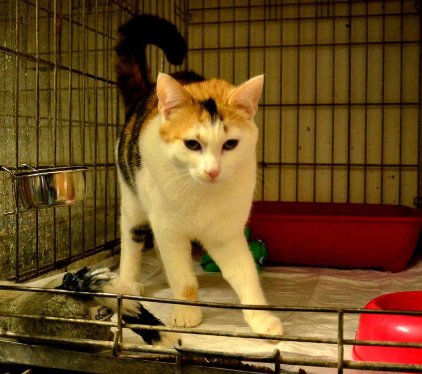 Elle est adoptée !!! :  CHELSEA, chatte tricolore de 2 ans environ