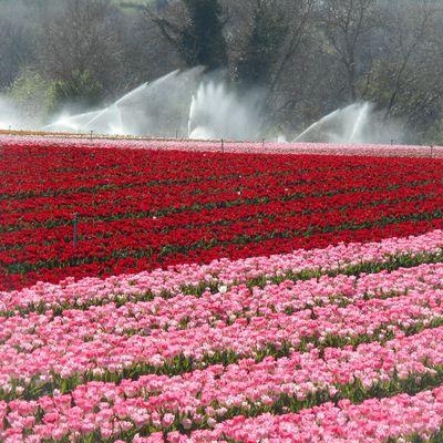 champs de Tulipes, notre dame des anges, Lurs