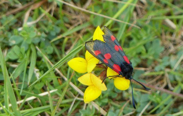 Papillon zygène de la filipendule au Château d'Olonne