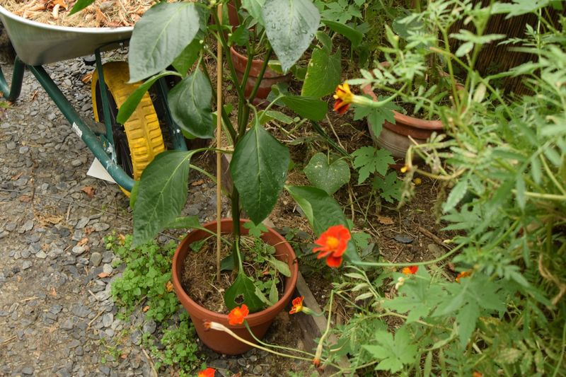 Les plants mesurent un bon mètre mais poussent dans des pots de 15 cm de diamètre ! Malgré tout, ça a marché (moyennant quelques arrosages au purin de consoude et à l'engrais organique pour tomates tout de même)
