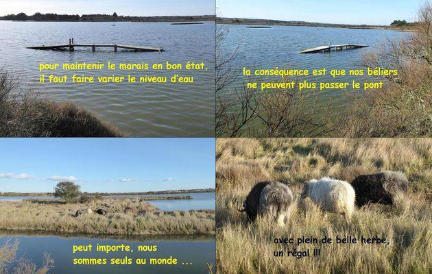 Béliers dans le marais des loirs à Olonne (suite)