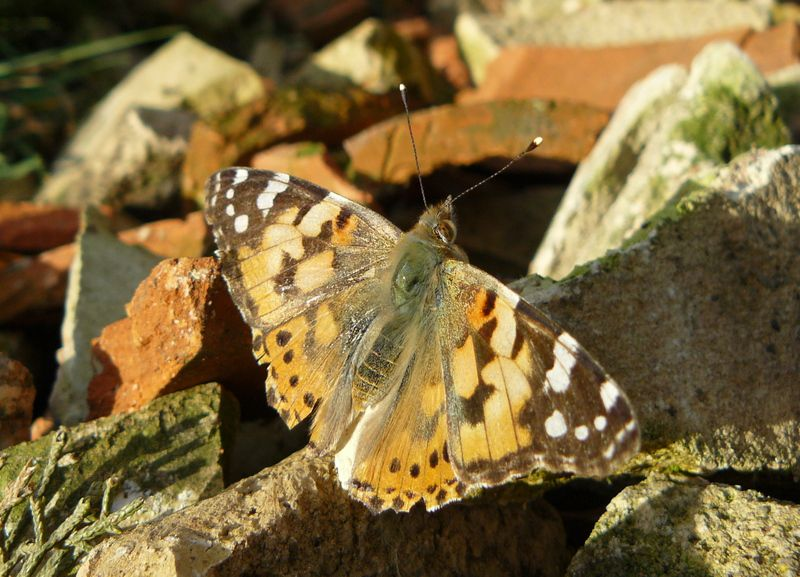 Papillons en Lauragais (3) : la Belle-Dame