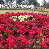 Phu Foi Lom (province de Udon Thani) - Fleurs du jour (21-01) - Noy et Gilbert en Thaïlande